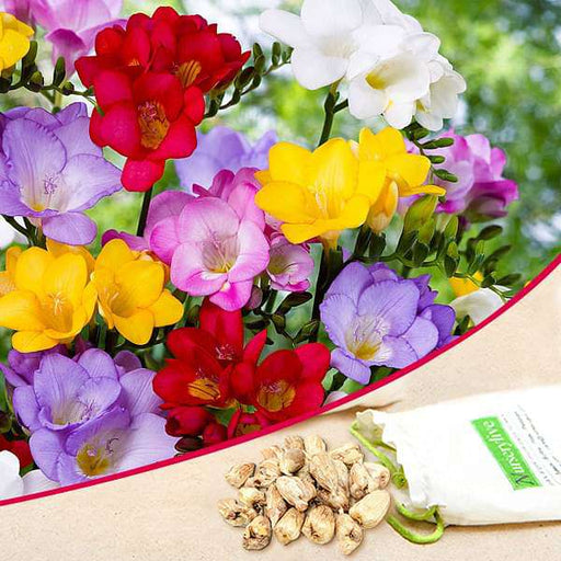 Freesia (Mix Color) - Bulbs (set of 5) - Nurserylive