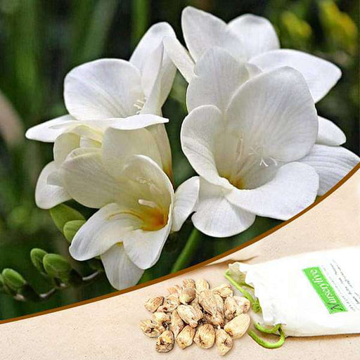 Freesia (White) - Bulbs (set of 5) - Nurserylive