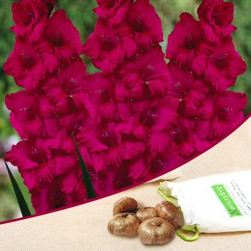 Gladiolus Candyman (Dark Pink) - Bulbs (set of 10) - Nurserylive