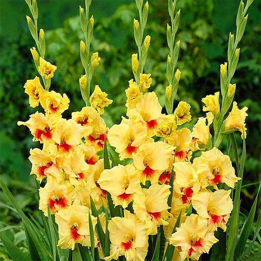 Gladiolus Jester (Yellow, Red) - Bulbs (set of 10) - Nurserylive