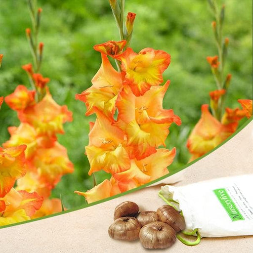 Gladiolus (Orange, Yellow) - Bulbs (set of 10) - Nurserylive