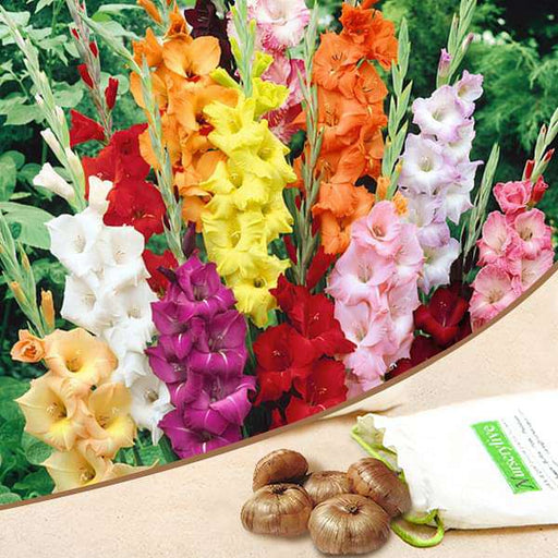 Gladiolus (Random color) - Bulbs (set of 10) - Nurserylive