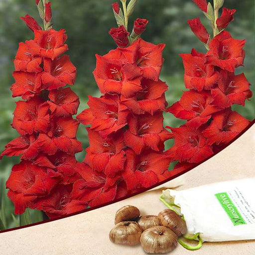 Gladiolus (Red) - Bulbs (set of 10) - Nurserylive