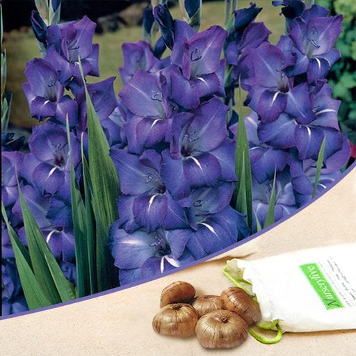 Gladiolus (Royal Blue) - Bulbs (set of 10) - Nurserylive