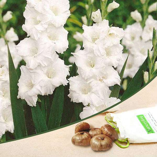 Gladiolus (White) - Bulbs (set of 10) - Nurserylive