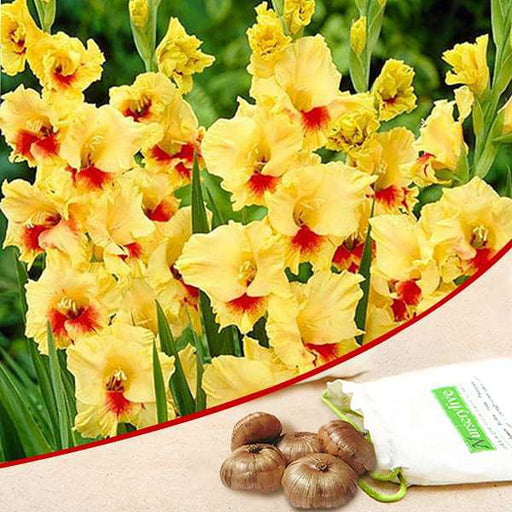 Gladiolus (Yellow) - Bulbs (set of 10) - Nurserylive