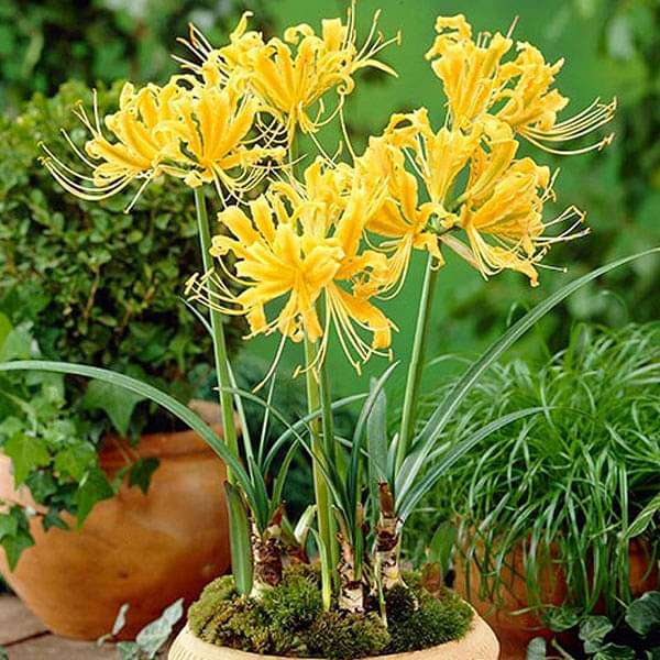 Golden Spider Lily, Lycoris Aurea (Yellow) - Bulbs (set of 5) - Nurserylive