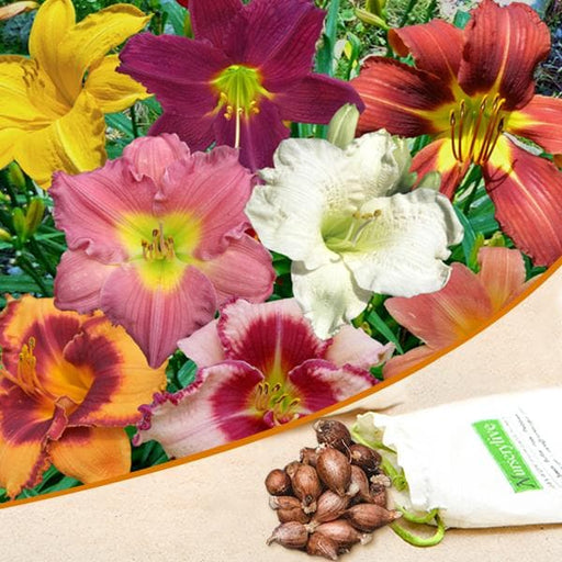 Hemerocallis, Day Lily Hybrid (Random Color) - Bulbs (set of 5) - Nurserylive