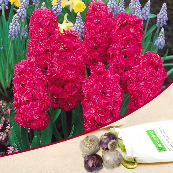 Hyacinth Hollyhock Double (Pink) - Bulbs (set of 5)
