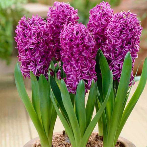 Hyacinth (Purple Sensation) - Bulbs (set of 5) - Nurserylive
