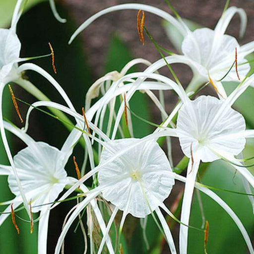 Hymenocallis littoralis, Spider Lily (White) - Bulb (set of 5) - Nurserylive