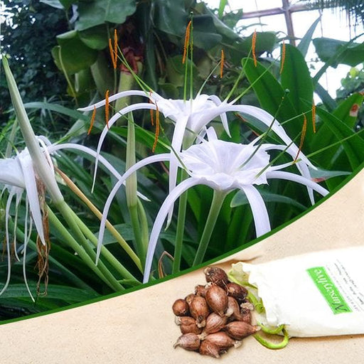 Hymenocallis Speciosa, Green-tinge spiderlily - Bulbs (set of 5) - Nurserylive