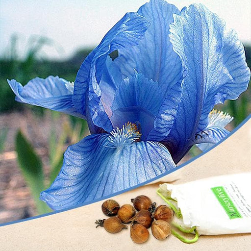 Iris (Blue) - Bulbs (set of 5) - Nurserylive