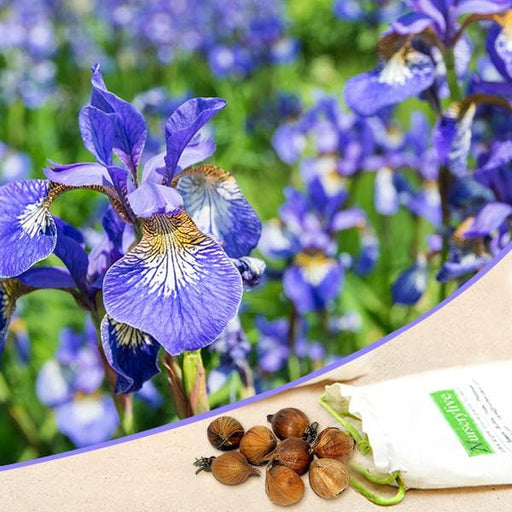 Iris (Blue Flag) - Bulbs (set of 5) - Nurserylive