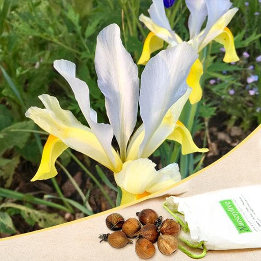 Iris Casablanca (White, Yellow) - Bulbs (set of 5) - Nurserylive