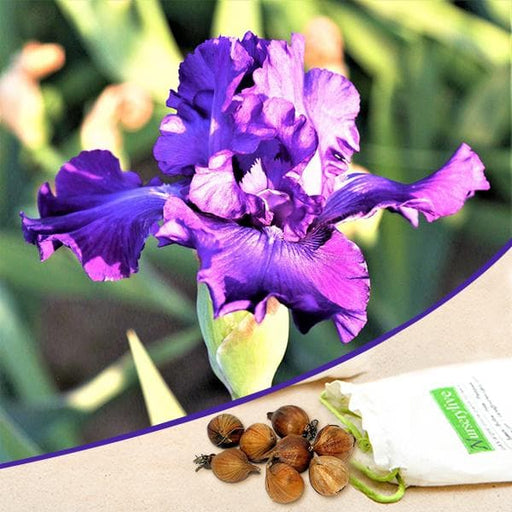 Iris Daylight (Purple) - Bulbs (set of 5) - Nurserylive