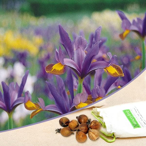 Iris Flashlight (Purple, White) - Bulbs (set of 5) - Nurserylive