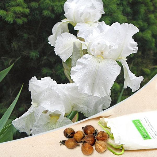 Iris Germanica (White Magic) - Bulbs (set of 5) - Nurserylive