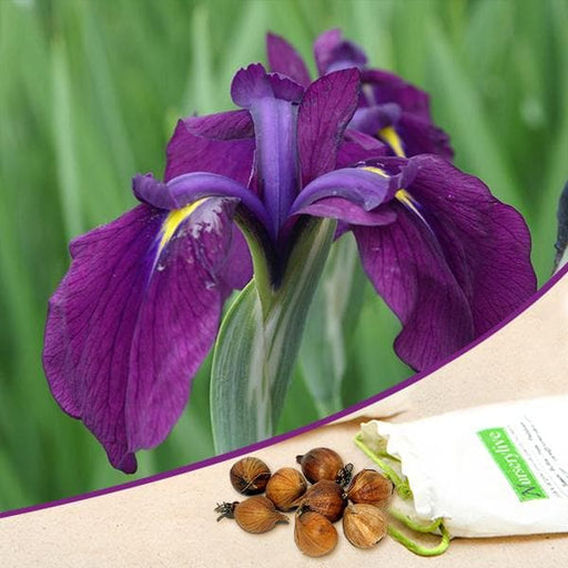 Iris kaempferi, Iris Ensata (Purple) - Bulbs (set of 5) - Nurserylive