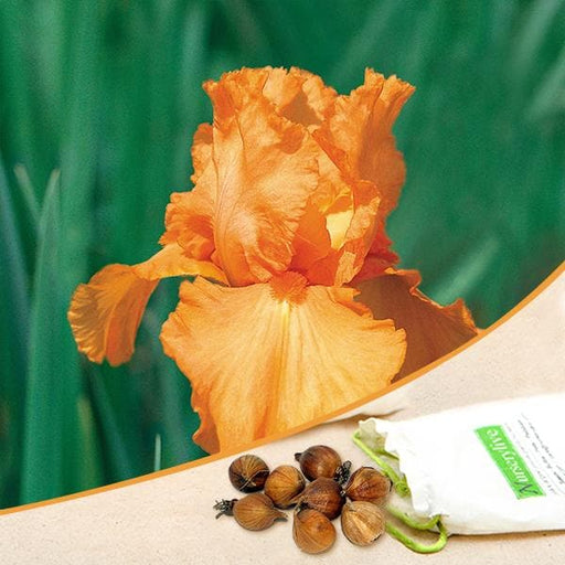 Iris (Orange) - Bulbs (set of 5) - Nurserylive