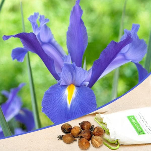 Iris Professor Blauw (Blue) - Bulbs (set of 5) - Nurserylive