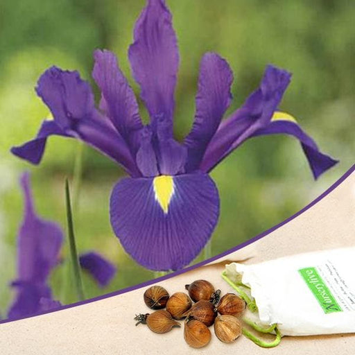 Iris (Purple) - Bulbs (set of 5) - Nurserylive
