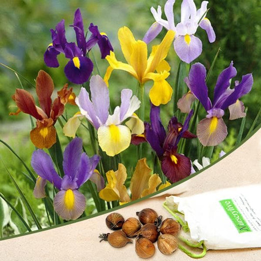 Iris (Random Color) - Bulbs (set of 5) - Nurserylive