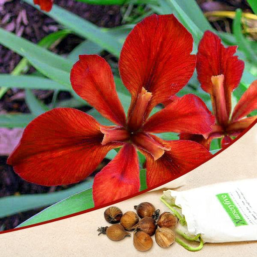 Iris (Red) - Bulbs (set of 5) - Nurserylive