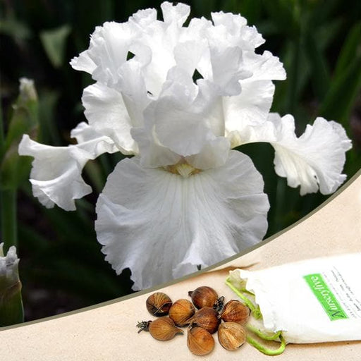 Iris (White) - Bulbs (set of 5) - Nurserylive