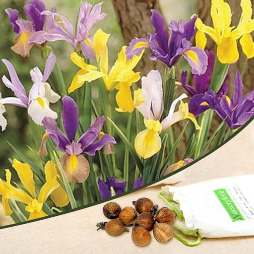 Iris Xiphium, Dutch Iris (Mix Color) - Bulbs (set of 5) - Nurserylive