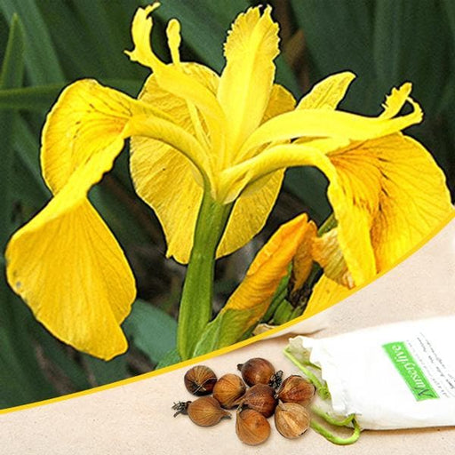 Iris (Yellow) - Bulbs (set of 5) - Nurserylive