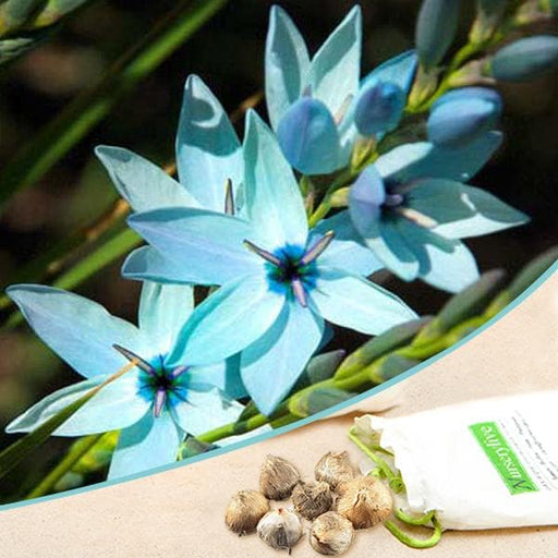 Ixia (Blue) - Bulbs (set of 5) - Nurserylive