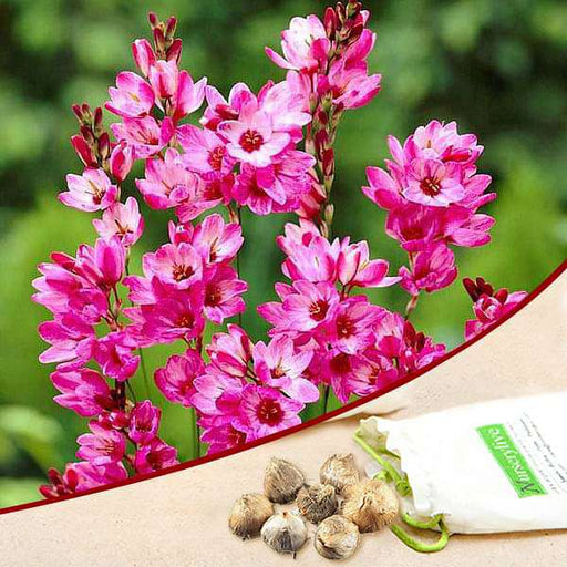 Ixia Panorama (Pink) - Bulbs (set of 5) - Nurserylive