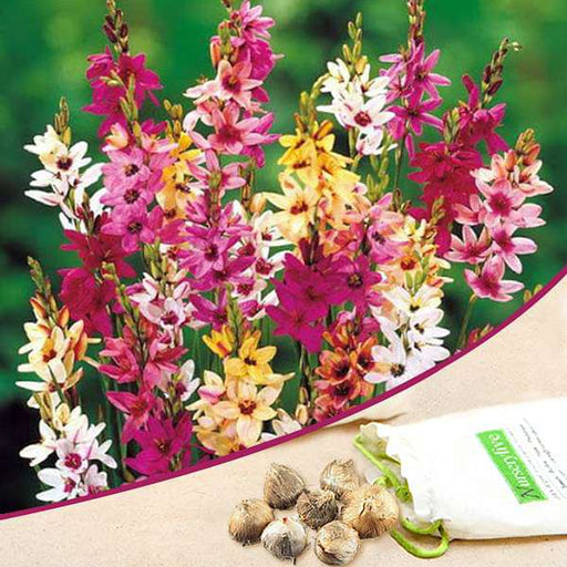Ixia (Random Color) - Bulbs (set of 5) - Nurserylive