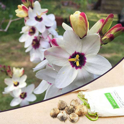 Ixia Spotlight (White) - Bulbs (set of 5) - Nurserylive