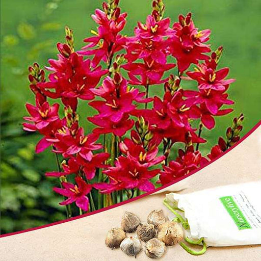 Ixia Venus (Red) - Bulbs (set of 5) - Nurserylive