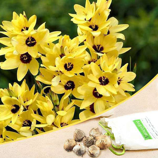 Ixia Yellow Emperor - Bulbs (set of 5) - Nurserylive