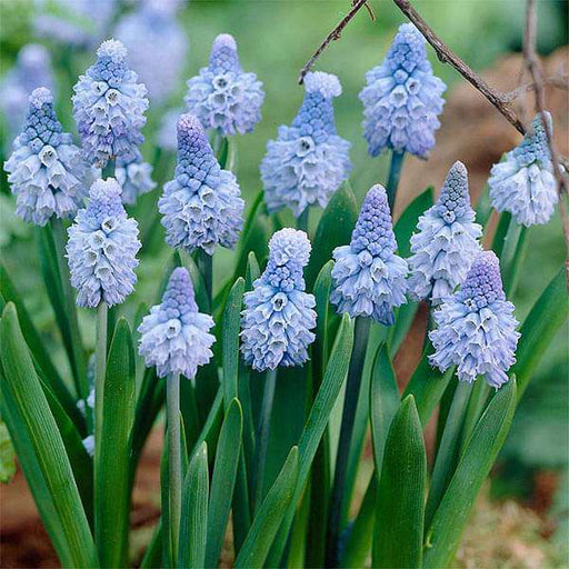 Muscari, Grape Hyacinth Azureum  (Blue) - Bulbs (set of 5) - Nurserylive