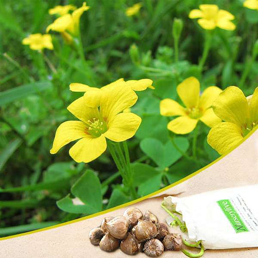 Oxalis (Yellow) - Bulbs  - Seeds (set of 10) - Nurserylive