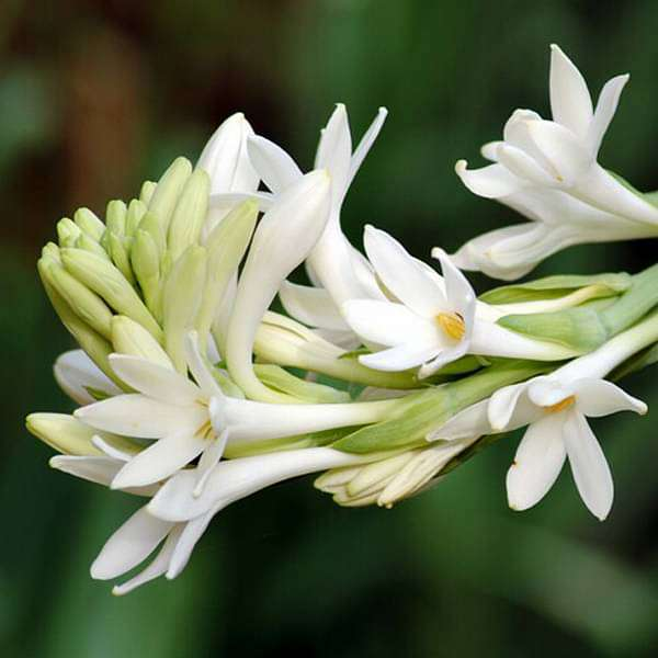 Rajnigandha, Tuberose - Bulbs (set of 10) - Nurserylive