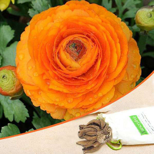 Ranunculus (Orange) - Bulbs (set of 5) - Nurserylive