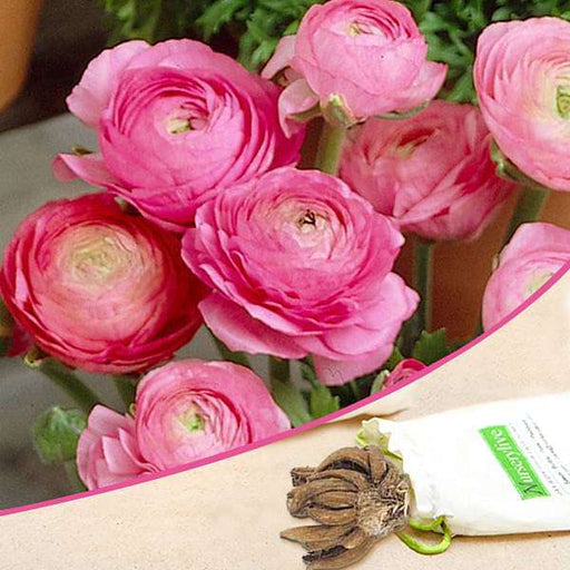 Ranunculus (Pink) - Bulbs (set of 5) - Nurserylive