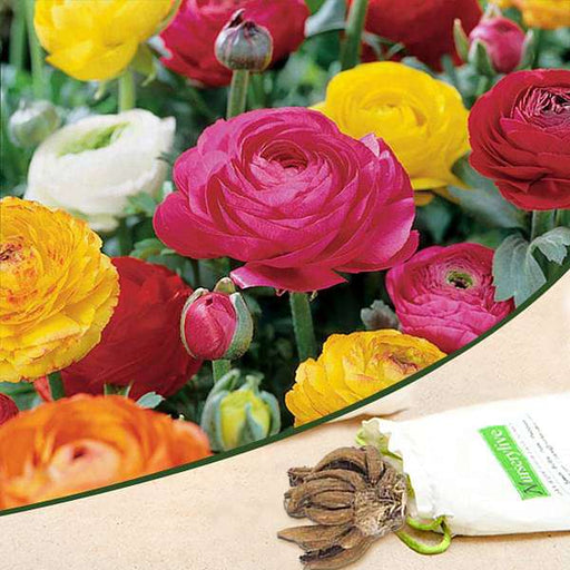 Ranunculus (Random Color) - Bulbs (set of 5) - Nurserylive