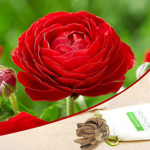 Ranunculus (Red) - Bulbs (set of 5) - Nurserylive