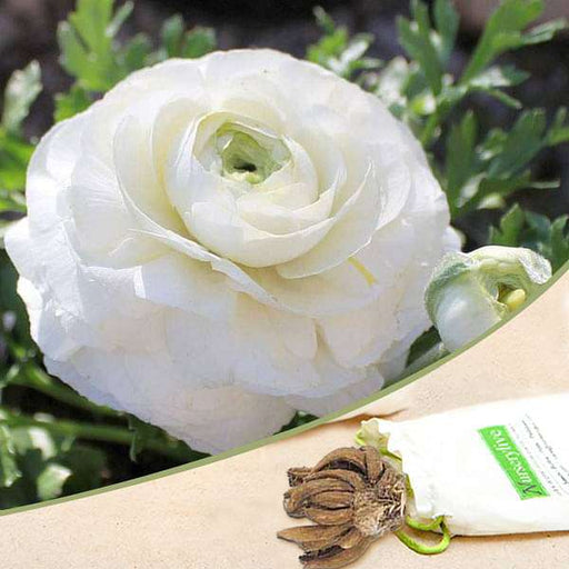 Ranunculus (White) - Bulbs (set of 5) - Nurserylive