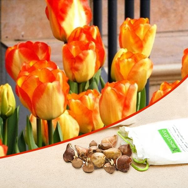 Tulip American Dream (Red, Yellow) - Bulbs (set of 5) - Nurserylive