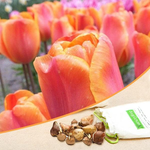 Tulip Annie Schilder (Orange) - Bulbs (set of 5) - Nurserylive