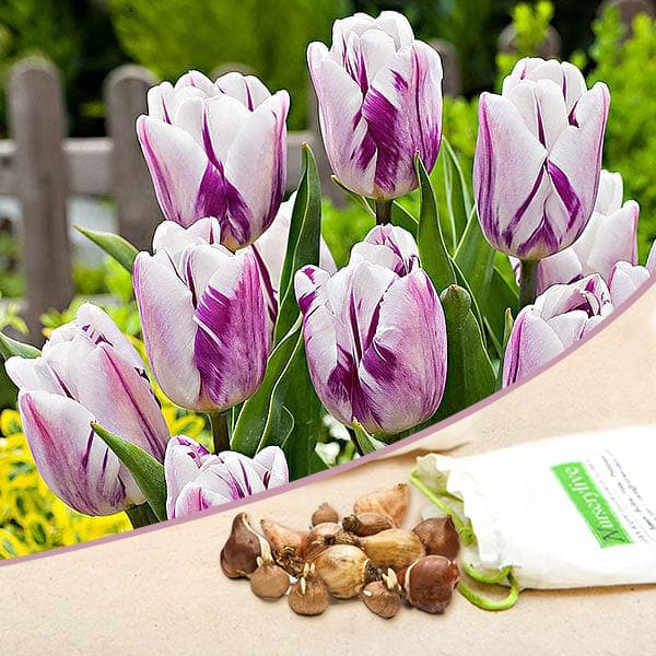 Tulip Flamingo Flag (White, Purple) - Bulbs (set of 5) - Nurserylive