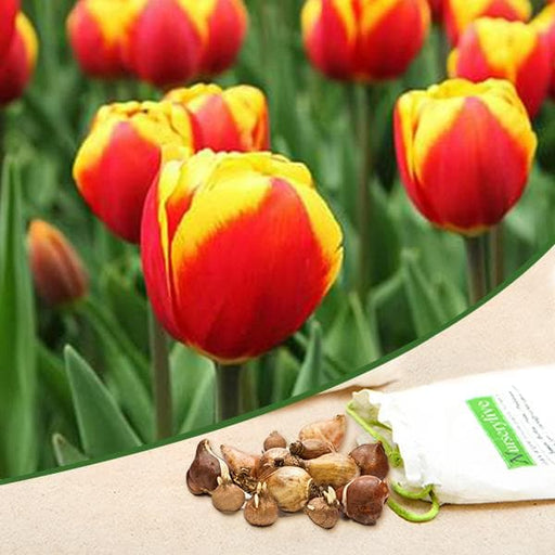 Tulip Jan Seignette (Yellow, Pink) - Bulbs (set of 5) - Nurserylive