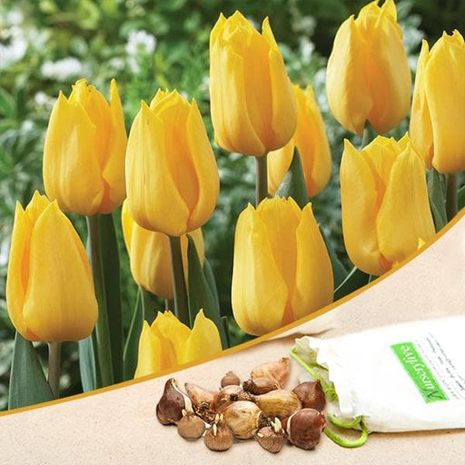 Tulip Kikomachi (Yellow) - Bulbs (set of 5) - Nurserylive